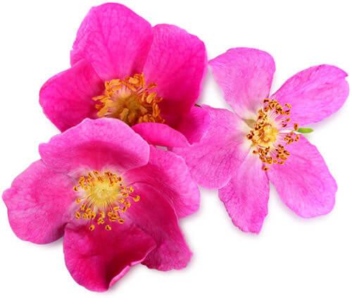 Imagen activo rosa mosqueta